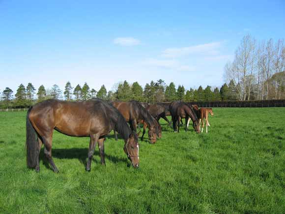 Boarding mares and foals at Airlie Stud